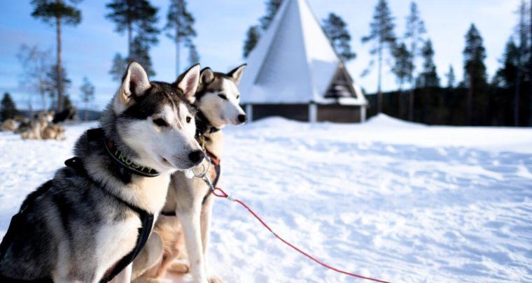 Alles dat je moet weten over huskytochten in Fins Lapland
