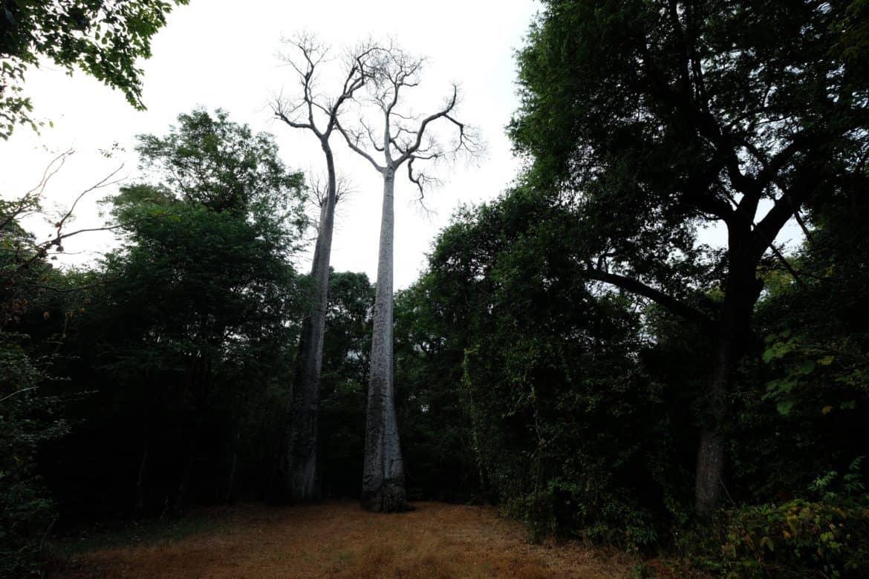 Baobobs Ankarafantsika