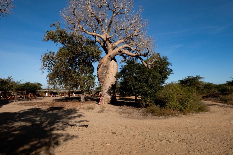 Baobab Amoureux