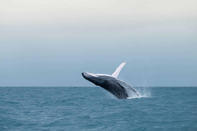 Whales ile sainte Marie