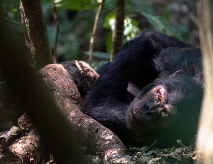 Travel guide | Everything you need to know about a chimpanzee trekking in Rwanda