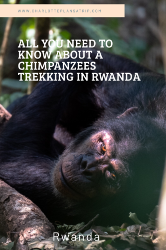 All you need to know about a chimpanzee trekking in Rwanda in Nyungwe Forest